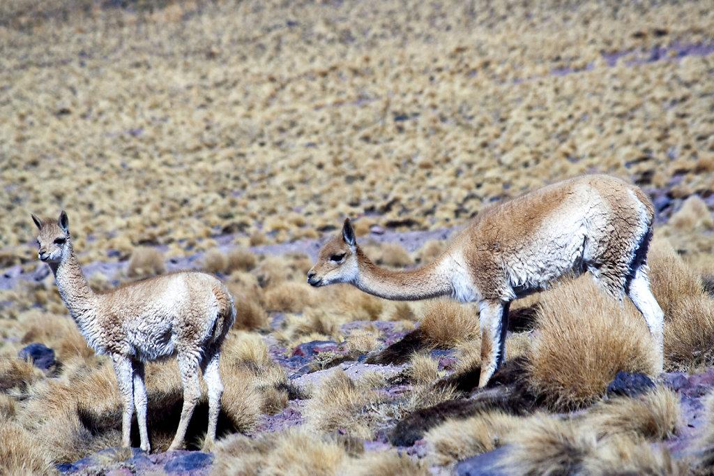 14. Chili Noord - Atacama. Vicunas
